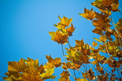 Maple tree. In autumn with blue sky Royalty Free Stock Photos
