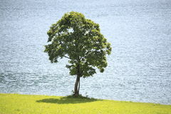 Maple tree. One maple tree with lake in background Stock Photo