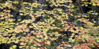 Maple tree. Maple leaves turning red and yellow Royalty Free Stock Image