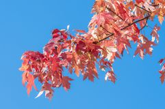 Maple tree Royalty Free Stock Photos