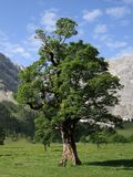 Maple tree. A day in the austrian mountains, Karwendel, Eng Royalty Free Stock Photo