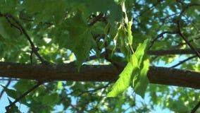 Maple tree. stock footage