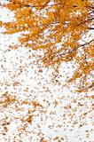 Maple tree. With yellow leaves on snow background Royalty Free Stock Image