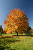 Maple tree. In beautiful autumn colours Royalty Free Stock Photos