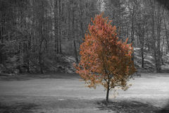 Maple tree. Growing on golf course Royalty Free Stock Photo
