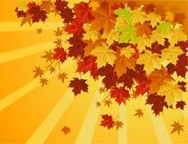 Maple tree. In autumn season Royalty Free Stock Photos