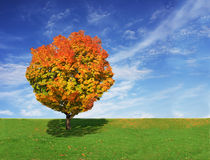 Maple Tree Stock Photos