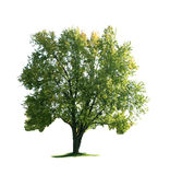 Maple Tree Royalty Free Stock Images