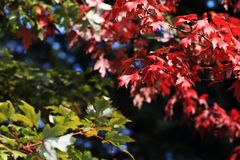 Maple. Is a  tree Acer genus, is a  commonly known as. Ancient scholars of the leaves of the  leaves favor a good, chanting the poem of the poem is not uncommon Stock Photography