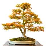 Maple tree Acer palmatum as bonsai. White isolated royalty free stock photos