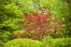 Maple tree, Acer palmatum Royalty Free Stock Photo