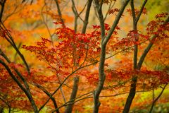 Maple tree, acer palmatum, with winged seeds. Red and orange maple tree, acer palmatum, with winged seeds royalty free stock photography
