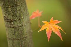 Maple tree, acer palmatum, with winged seeds. Red and orange maple tree, acer palmatum, with winged seeds royalty free stock image