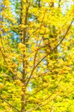 Maple Tree against Bue Sky. Maple tree against blue sky in a spring forest in bright sunny day royalty free stock photo