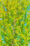 Maple Tree against Bue Sky. Maple tree against blue sky in a spring forest in bright sunny day stock image