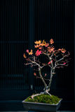 Maple tree as bonsai. Japanese maple tree as bonsai royalty free stock photo