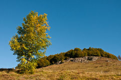 Maple tree in autumn. With blue sky and a rocky mountain Royalty Free Stock Image