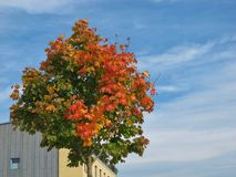 Maple Tree In The Autumn Stock Images