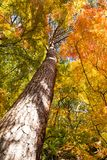 Maple tree in Autumn Stock Photos