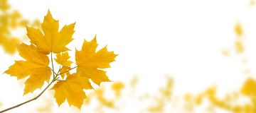 Maple tree autumn branch isolated on white. Maple tree branch with yellow autumn leaves on the fall blurred park horizontal background isolated on white stock photos