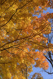 Maple tree in autumn brilliance. Royalty Free Stock Images
