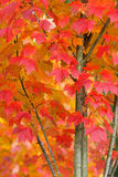 Maple Tree in Autumn Closeup. A closeup of part of a brightly colored maple tree turns red and gold during Autumn Stock Photos