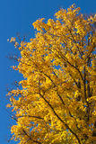 Maple tree. In autumn color Royalty Free Stock Image