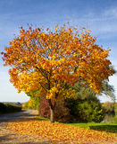 Maple tree in autumn. Colorful maple tree on a lake in autumn Royalty Free Stock Image
