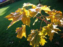 Maple tree in autumn Stock Photography