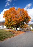 Maple Tree Autumn Colors Royalty Free Stock Images