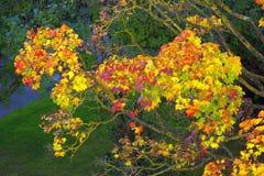 Maple tree in autumn. Stock Image