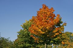 Maple tree in autumn, Germany Stock Photos