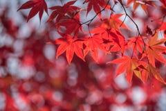 Maple tree in autumn Royalty Free Stock Photo