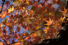 Maple tree in autumn Stock Photo