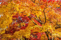 Maple tree in autumn. Royalty Free Stock Images