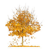 Maple tree autumn leaves background Stock Images