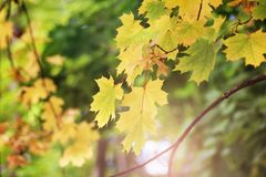 Maple tree in autumn royalty free stock images