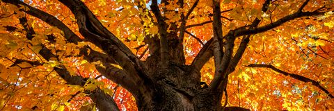 Maple Tree In Autumn royalty free stock image