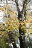 Maple tree in autumn season Royalty Free Stock Photo