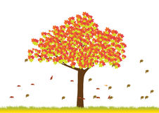 Maple tree in autumn season Royalty Free Stock Photo