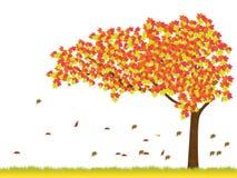 Maple tree in autumn season. Maple tree isolated on white background-vector illustration Royalty Free Stock Photography