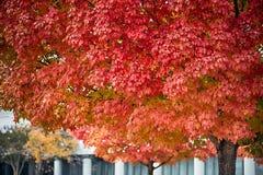 Maple tree autumn season orange leafs in the city Stock Photos