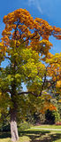 Maple tree in autumn Stock Images