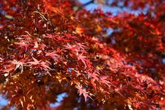 Maple tree autumn. Autumn in Tokyo, Japan - colorful fall foliage, red maple tree leaves stock photos