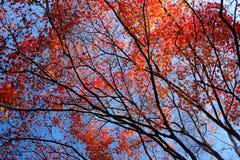 Maple tree in Autumn Royalty Free Stock Photos