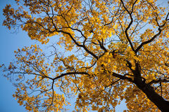 Maple tree in the autumn Royalty Free Stock Images