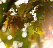 Maple tree with autumnal leaves Royalty Free Stock Image