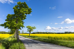 Maple tree in avenue Royalty Free Stock Photography
