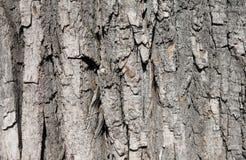 Maple tree bark Royalty Free Stock Images