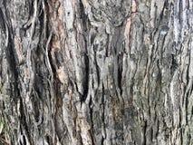 Maple Tree Bark Background Stock Photos